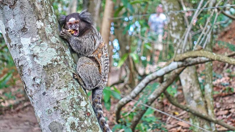 Putziger, aber invasiver Lemur