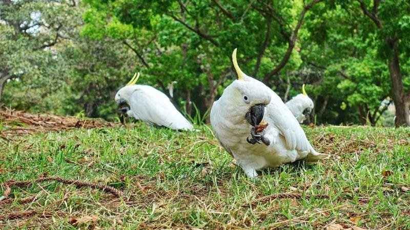 Frei lebende Kakadus