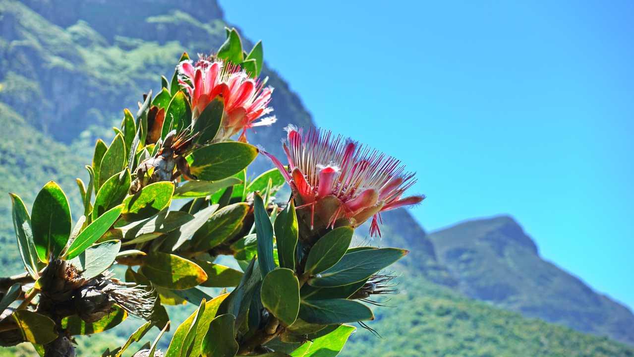 Protea im Kirstenbosch Botanical Garden